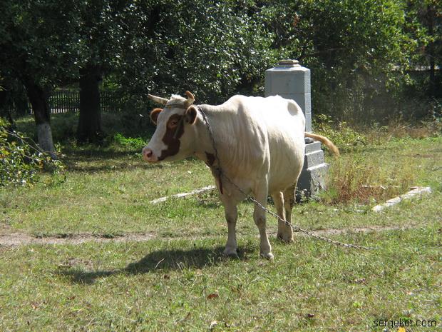 Тимановка. Корова.