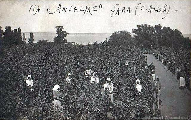 Уборка винограда на вилле Ансельма.